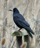 Rook, Oundle