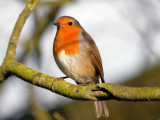 Robin, Oundle