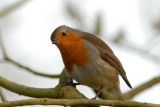 Robin, Barnwell Country Park, Oundle,