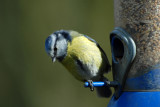 Blue tit, Barnwell Country Park, Oundle.