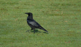 Raven, Barnwell Country Park, Oundle.