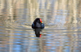 Moorhen, Barnwell Country Park, Oundle.