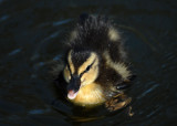Baby Ducklings, Mallards, Barnwell Country Park, Oundle.