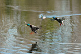 Mallards Dive Bombing Contest, Barnwell Country Park, Oundle.
