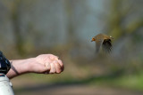 Robin feeding off the hand with crawfords mini cheddars, Barnwell Country Park, Oundle.