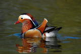 Mandarin Duck, Barnwell Country Park, Oundle.
