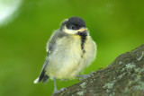 Baby Great Tit, Barnwell Country Park, Oundle.