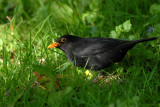 Blackbird, Barnwell Country Park, Oundle.