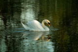 Mute Swan, Barnwell Country Park, Oundle.