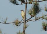 Green Woodpecker, Gunners Park, Shoeburyness,