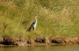 Grey Heron, Gunners Park, Shoeburyness.
