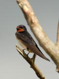 Swallow, Gunners Park, Shoeburyness