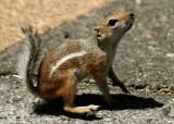 Antelope Squirrel, Hoover Dam, Las Vegas.