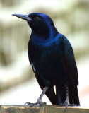 Boat Tailed Grackle, Busch Gardens, Tampa, Florida.