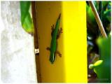 Lézard vert de Manapany.jpg