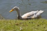 exi duck? _MG_5441.jpg