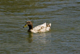 exi duck? brown head white body_MG_5256.jpg