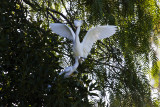 ex parent egret with open beaked baby_MG_5233.jpg