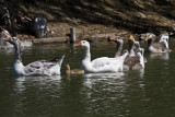 ex procession of snooty geese with a baby_MG_5609.jpg