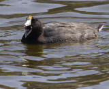 red eyed open beaked coot in water_MG_0324.jpg