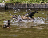 duck landing on water with a splash_MG_8821.jpg