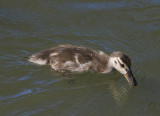 baby duck in water_MG_5301.jpg