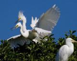 two headed snowy egret beaks open wings spread_MG_0213.jpg