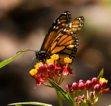 monarch butterfly on colorful flower_MG_9376.jpg