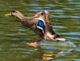 duck water skiing on water as it lands_MG_0484.jpg