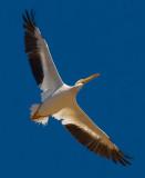 white pelican from below_MG_9156.jpg