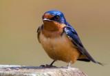 Barn Swallow_MG_0177 t.jpg