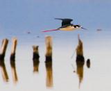 Black Necked Stilt over salt pond.jpg