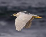Night Heron flying over the ocean.jpg