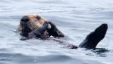 Sea Otter Cracking Sea Shell 3070.jpg