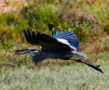 Heron in the Marsh_MG_4013.jpg