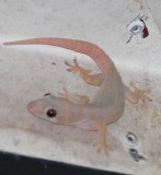 Nocturnal gecko lizard..they chirp like birds