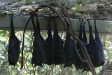 Flying foxes or fruit bats
