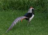 Asian pheasant