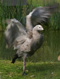One legged Cape Barren Goose..err gander