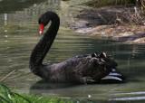 Male black swan