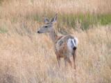 mule deer on the prairie