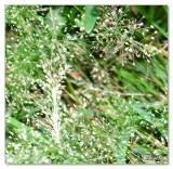 grass flowers.jpg