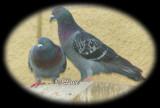Pigeon LoveHD.jpg