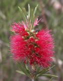 Callistemon, with visitor