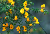 Pultenaea – is it?