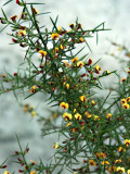 Daviesia ulicifolia