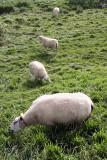 Sheep 060904-014