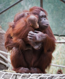 Mother Orangutan and female baby