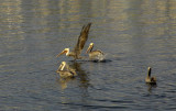 Pelicans in Mission Bay