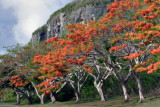 Flame Trees at Cliff